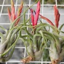 How to Grow and Care for Air Plants for Your Home