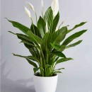 How to Care for Peace Lily Plant